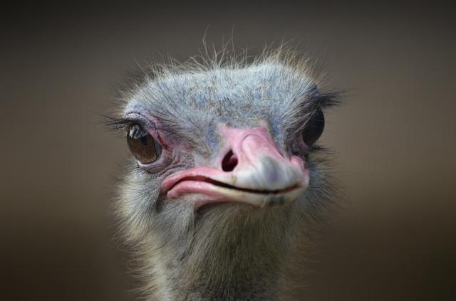 ostrich-1688889_960_720